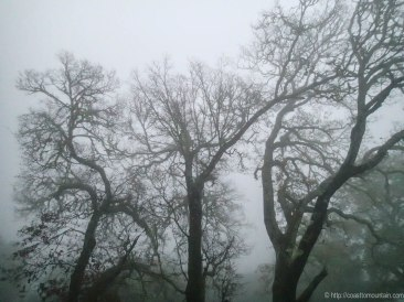 Oaks in the evening fog